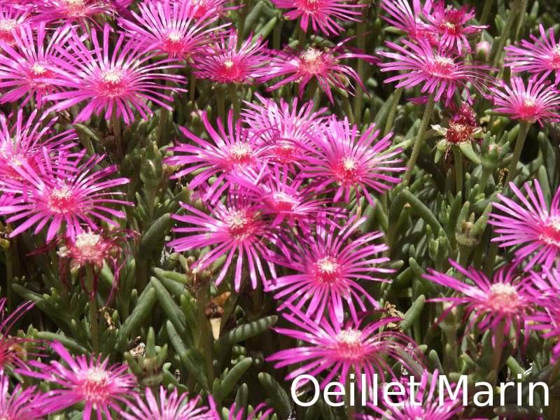 Plantes et fleurs for Plante grasse exterieur rustique
